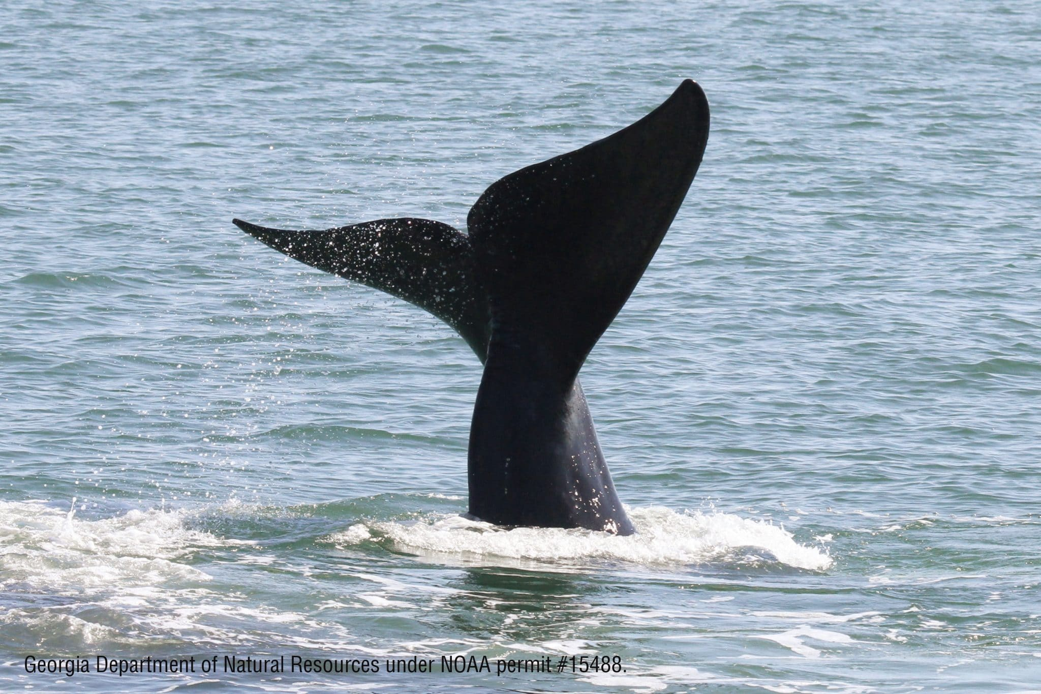 Canada announces 2019 plans to protect North Atlantic right whales