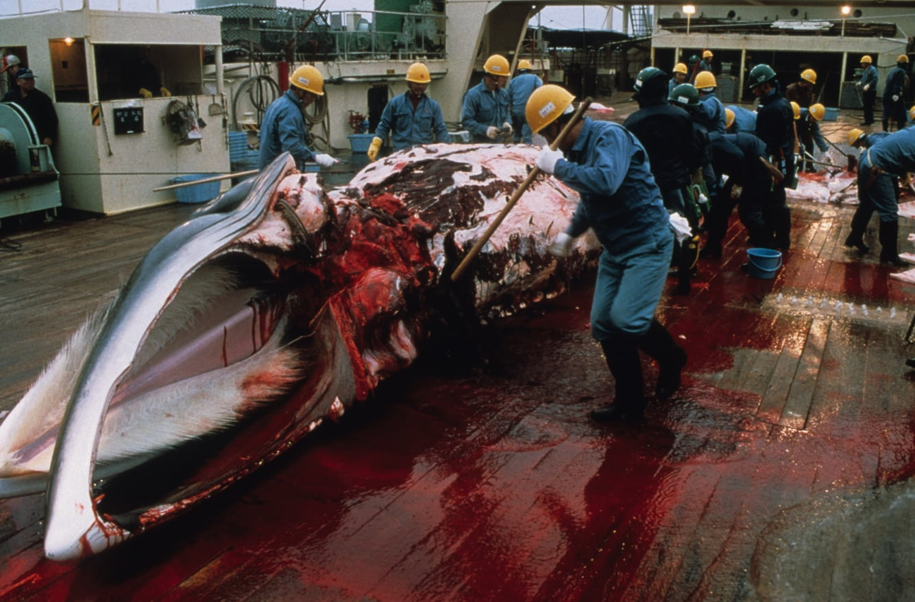 New Japanese whale hunting plan rejected by experts