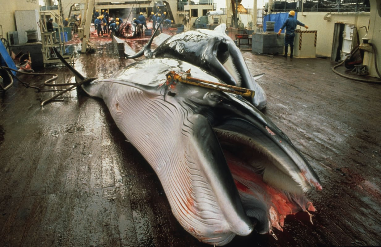 No EU-Japan trade agreement unless Japan stops whaling!
