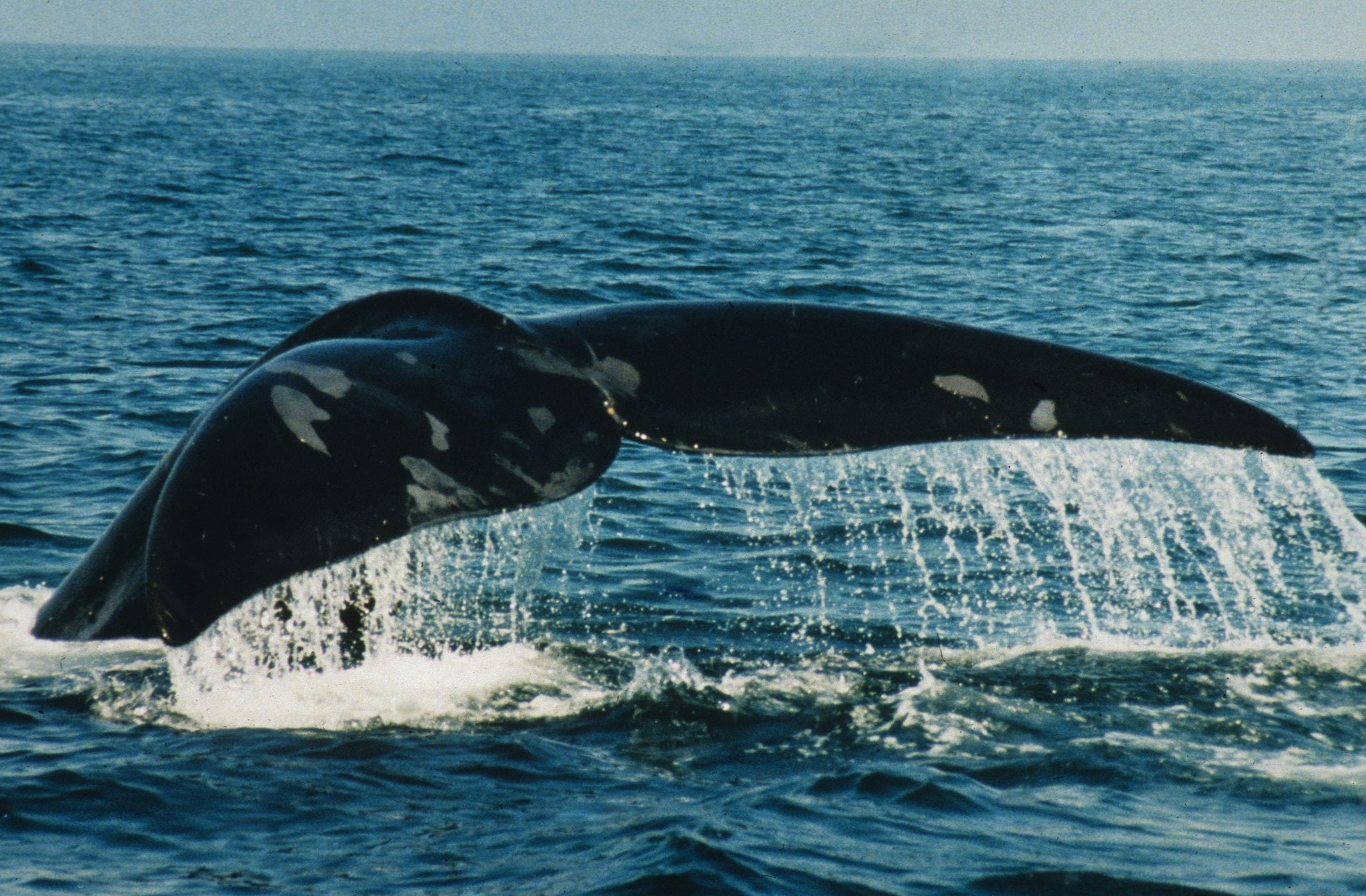 First North Atlantic right whale calves of season sighted