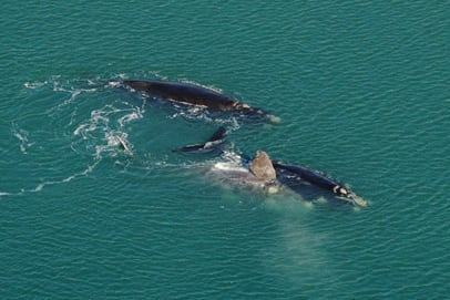 WDC carries out southern right whale study in Argentina