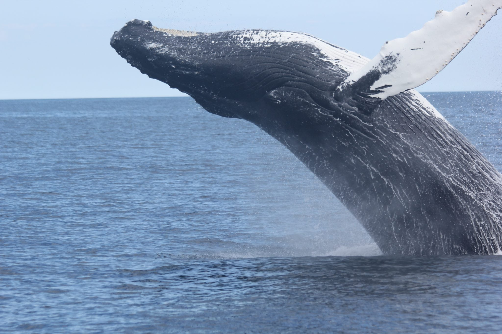 Another risky summer for West Coast humpbacks - Whale