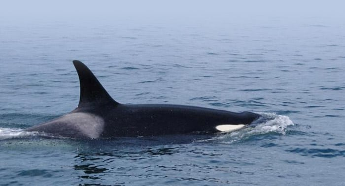 Scientists record first case of infanticide in orcas