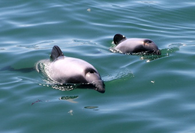 Dolphins in New Zealand listed on US Endangered Species Act