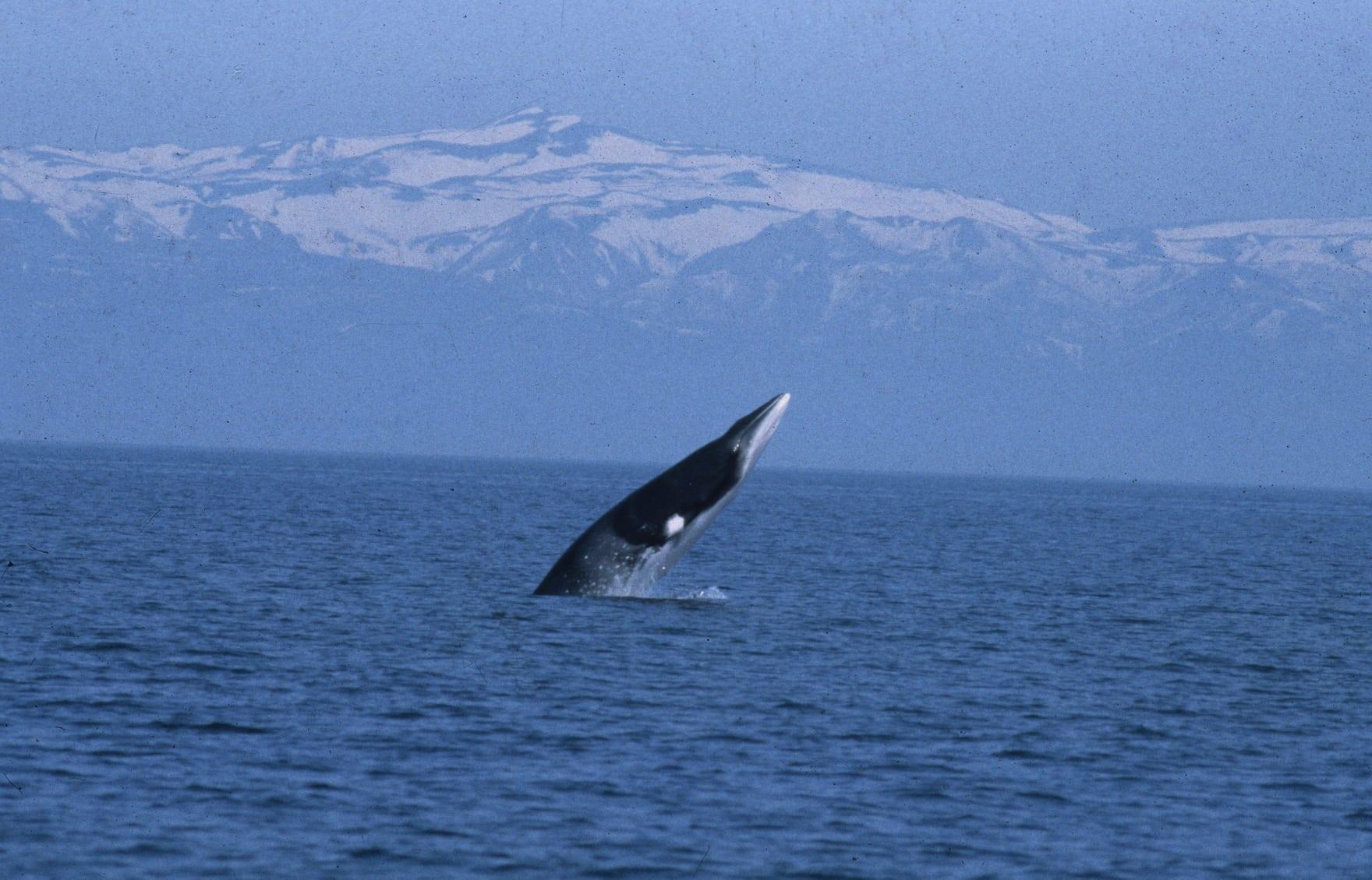 Minke whale hunts stop in Iceland