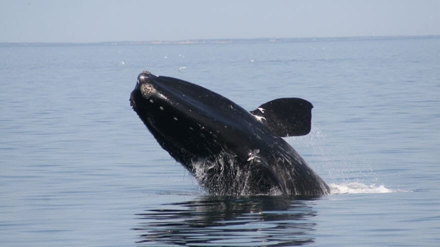 New findings highlight decline in North Atlantic right whale population