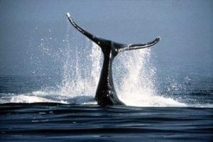 Buckelwal versucht Grauwal vor Orca-Angriff zu retten