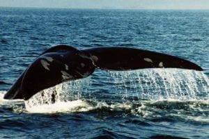 Erfolg für WDC: Geschwindigkeitsbegrenzung für Schiffe bleibt zum Schutz von Walen aufrecht