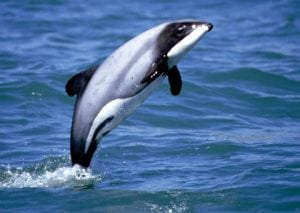 Neuseeland: Erfolgreiches Schutzgebiet für Hektordelfine