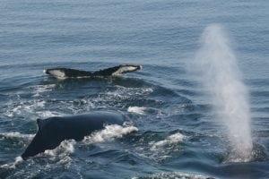 Seltene Sichtung von Walen in Moray Firth