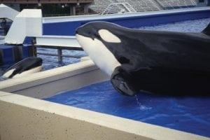 """SeaWorld gibt Geburt eines weiteren """"Baby Shamu"""" bekannt"""