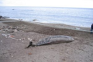 Peru: Riesige Anzahl von Delfinen tot aufgefunden