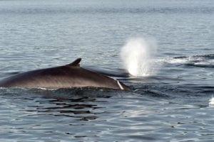 Island bereitet sich auf Wiederaufnahme der Finnwaljagd vor