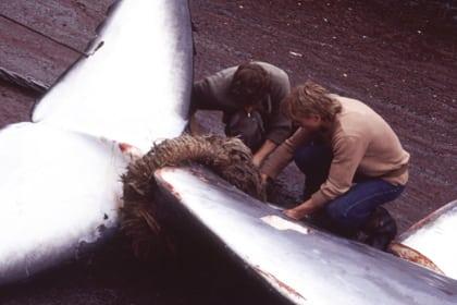Erster Wal vor Island getötet