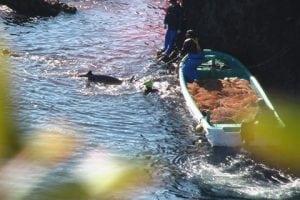 SEA LIFE Stiftung verurteilt Delfintreibjagden
