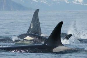 Russische Behörden empfehlen eine Fangquote von zehn Orcas für 2014