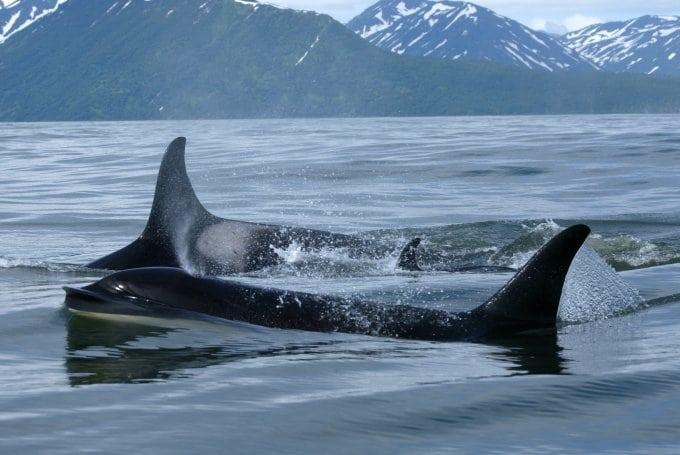 Zwei Orcas in Russland illegal gefangengenommen