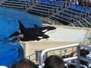Ein weiterer Orca stirbt in SeaWorld