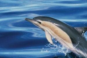 Die Faszination des Verbotenen – Schockierende Undercover-Recherche über Delfinfleisch in italienischen Restaurants