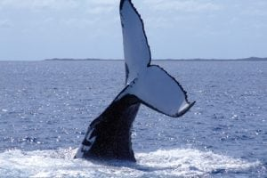 Fünf Buckelwalpopulationen im Nordpazifik identifiziert