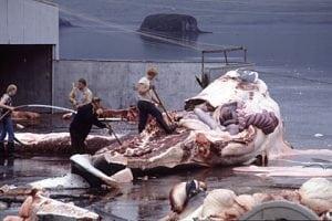 Island wird Jagd auf bedrohte Wale fortsetzen