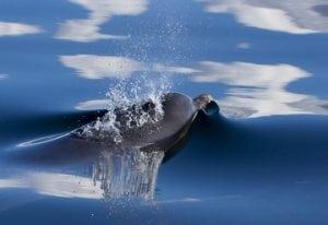 7 Tonnen Delfinfleisch in Taiwan sichergestellt