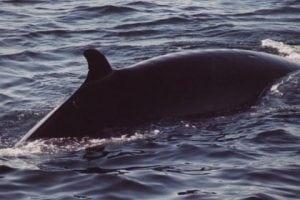 Sushi-Köche verkaufen Seiwale als Delikatesse – bekennen Sie sich vor Gericht schuldig?