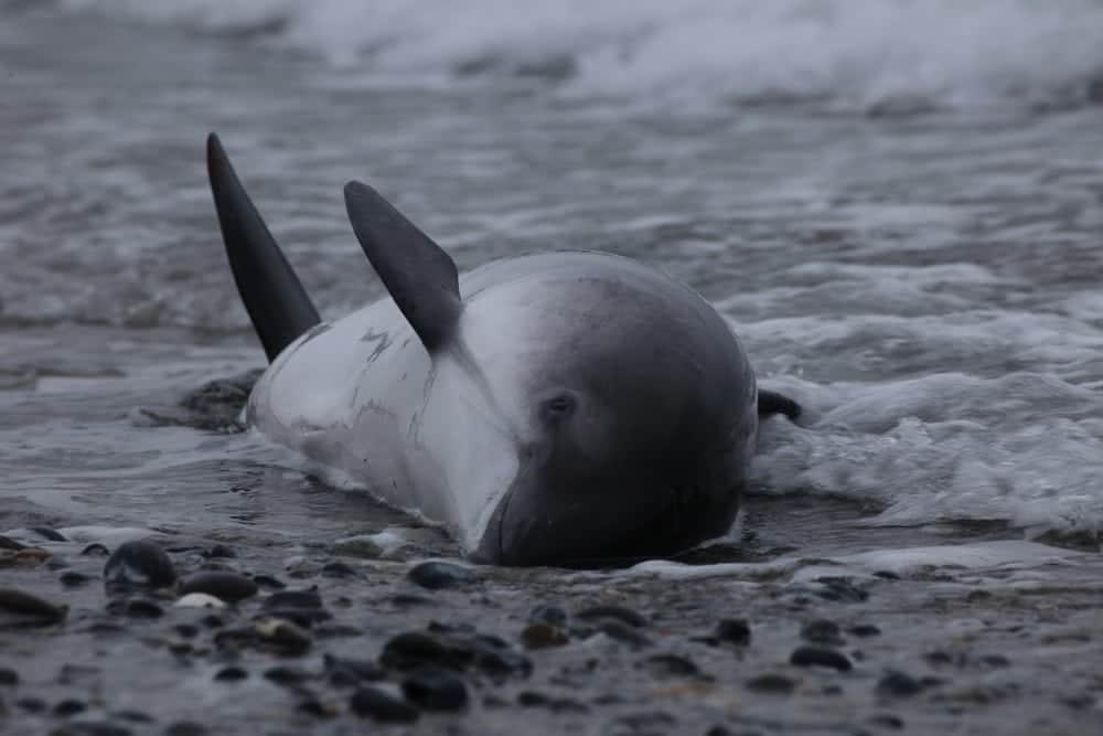 Bedrohte Kleinwale – nicht nur im Ausland!