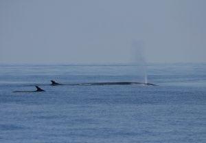 Dieses Jahr keine Finnwaljagd in Island