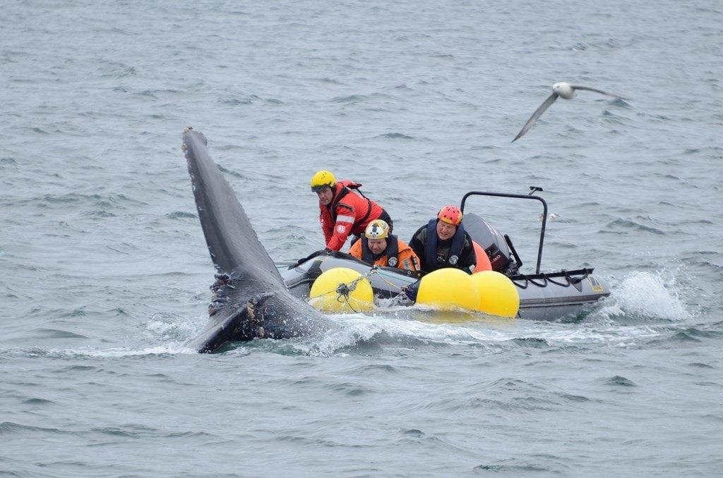 Walrettung in Island – ich war dabei!