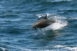 Erneut Delfinbesuch in der Kieler Förde