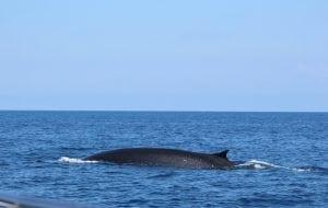 Temperaturanstieg im Mittelmeer: Wale und Delfine in der Klimafalle