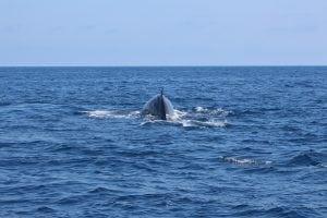 Walbeobachtung im Pelagos Schutzgebiet
