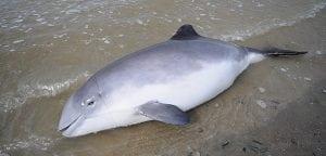 Landwirtschaftsministerium verhindert Schweinswalschutz