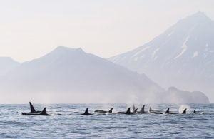 Russland verbietet Fänge von Orcas und Belugas