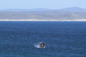 Whale Watching in Hermanus, Südafrika