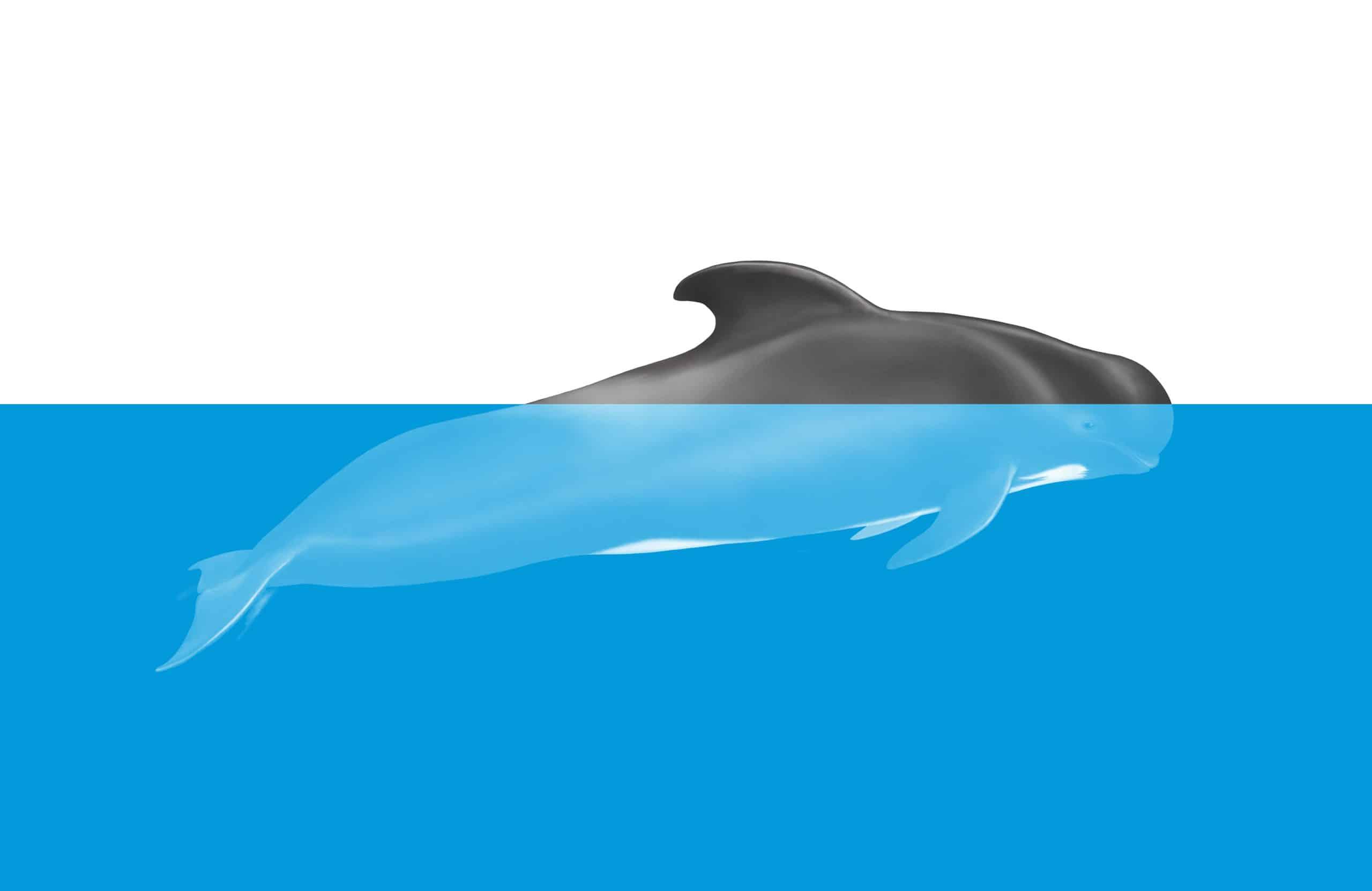 Wie schlafen Wale - Schlafender Pilotwal