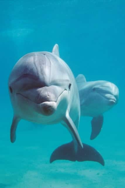 bottlenose dolphins (c), Tursiops truncatus, Israel (Red Sea)