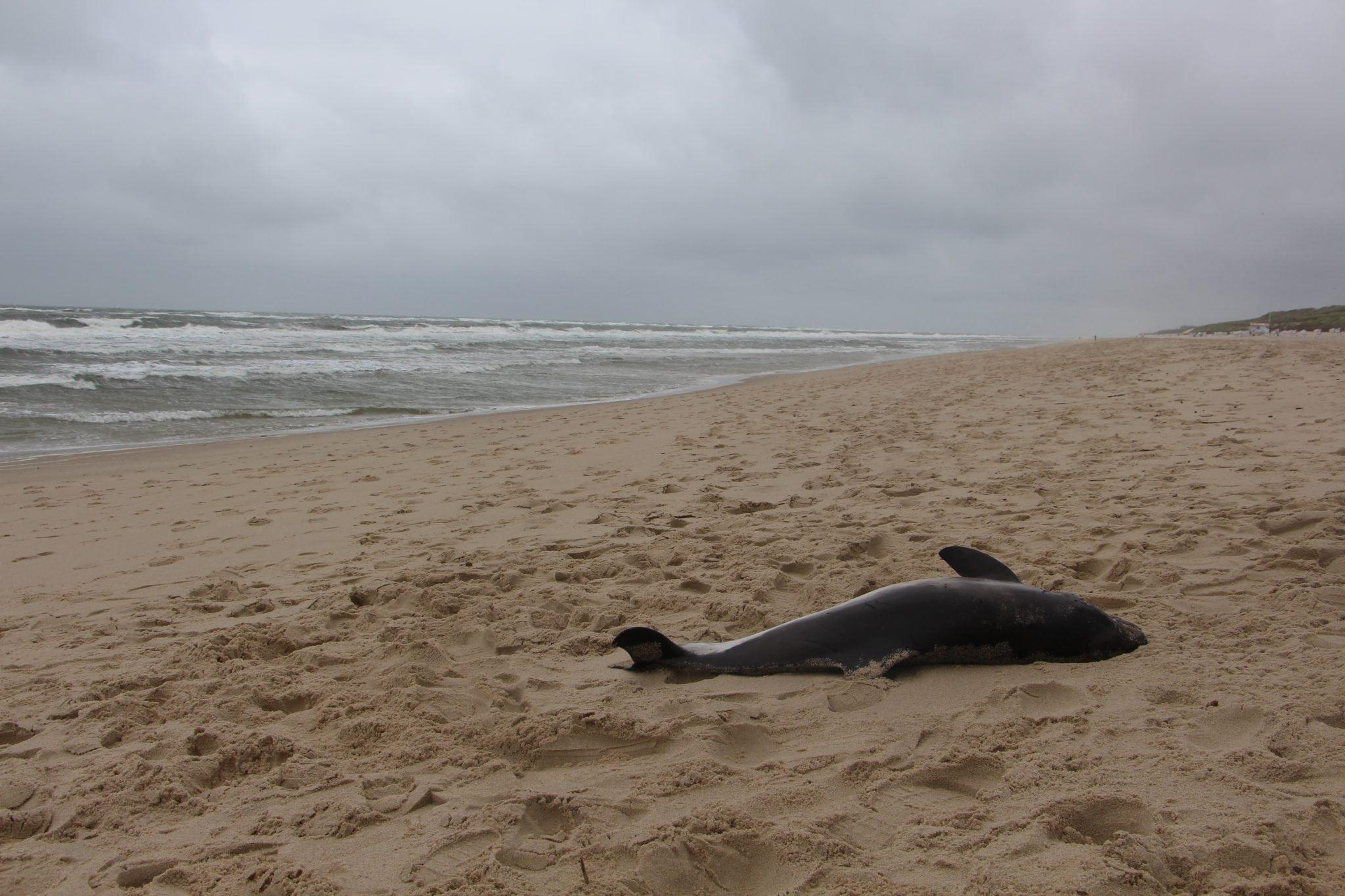 Schweinswal-Strandung Sylt 2018