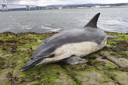 Gestrandeter Gemeiner Delfin