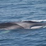 fin-whale-nicola-hodgins-7