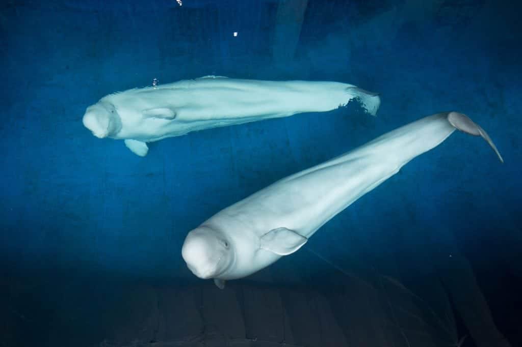 Freilassung der Belugas in das Refugium wird vorbereitet