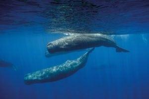 Klimakonferenz: WDC fordert Walschutz auf der Agenda