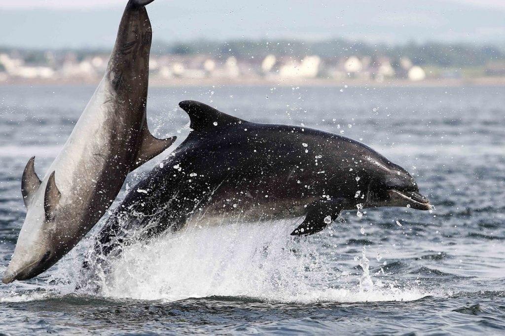 Delfin Schottland
