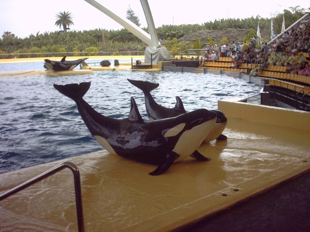 Orcas im Loro Parque, Teneriffa