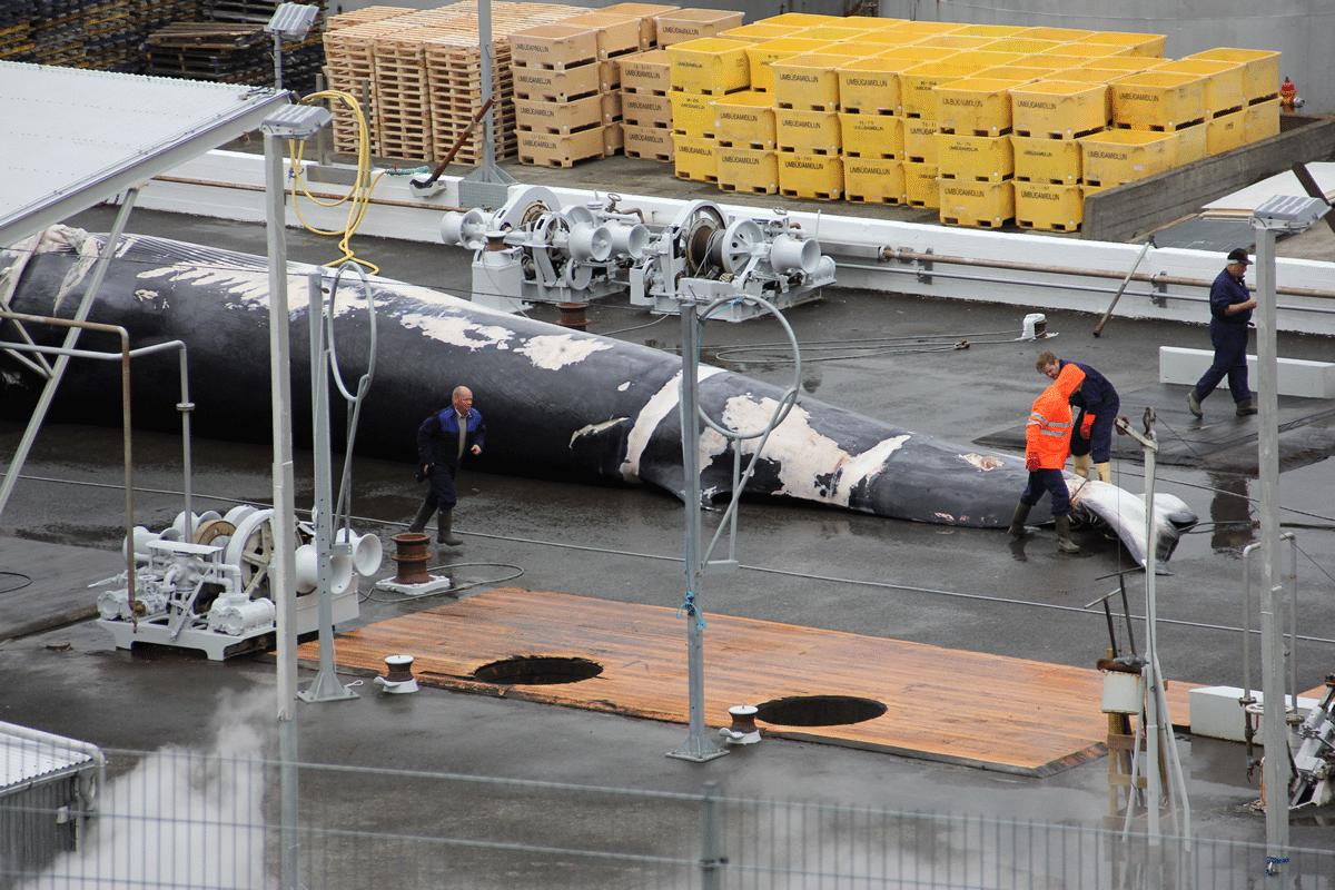 Wal wird in Island zerlegt