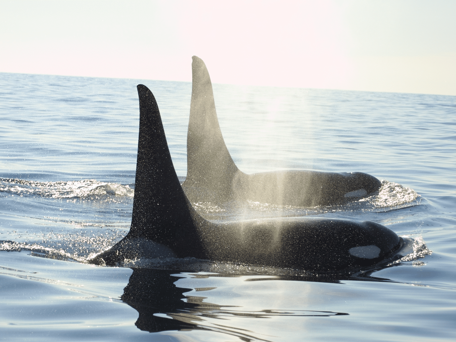 Orcas in Russland