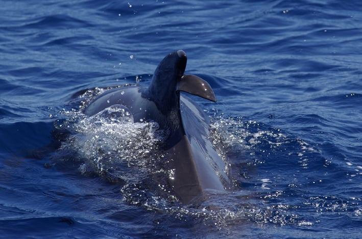 Verletzte Flosse eines Delfins