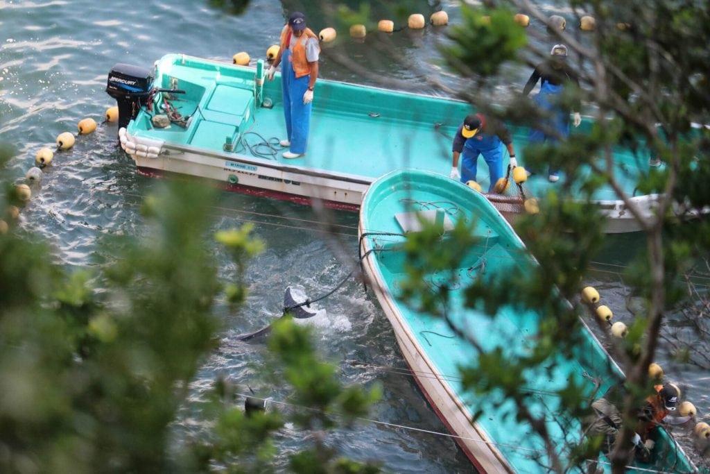 Delfine werden in Taiji gefangen