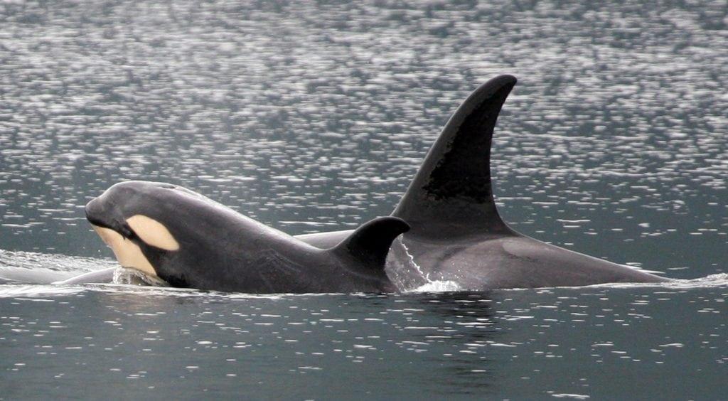 Orca Uma und ihr Nachwuchs